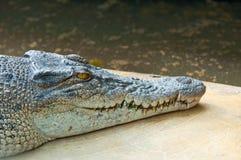vild krokodil Royaltyfri Fotografi