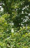 Vild Ros-ringed parakiter, London Arkivfoton