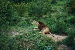 Vilda djur djurliv, lejon som vilar i gräset i en zoo i natur Royaltyfria Bilder