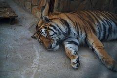 Vilda djur en zoo, en tiger sovande, djurliv Arkivbild