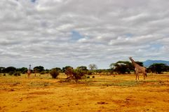 Vilda djur på safari Royaltyfria Foton