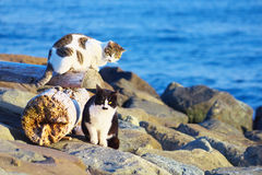 Vilda katter på havskusten Royaltyfri Foto