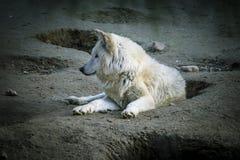 Vilda vit varg som vilar i det härliga laget för sol Arkivbild