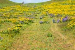 Vildblommaäng med lupines Royaltyfri Fotografi
