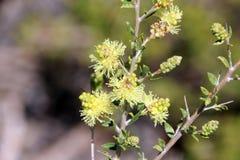 Vildblomma för myrten för Melaleuca Thymoides Sandwattle royaltyfria bilder