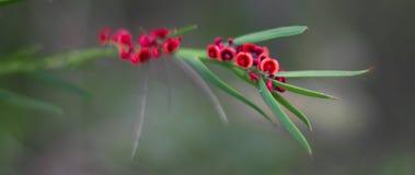 Vildblomma i västra Australien Royaltyfria Bilder