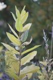 Vildblomma - Milkweed Arkivfoton