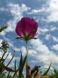 Vildblomma och blå himmel Royaltyfria Foton