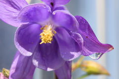 Purpurfärgad Columbine blomma med daggdroppen Royaltyfri Foto