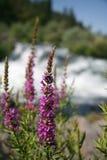 vildblommar för loosestrifeoregon purple arkivbild