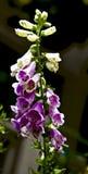 Vildblommor i Smokiesen Fotografering för Bildbyråer