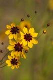Vildblommor och knoppar för Alabama Coreopsistinctoria Royaltyfri Bild