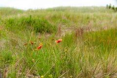 Vildblommor på den Hatteras ön Arkivbilder