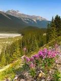 Vildblommor Rocky Mountain, Kanada Arkivfoto