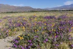 Vildblommor som blommar i Anza-Borrego, deserterar delstatsparken - Califor fotografering för bildbyråer