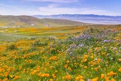 Vildblommor som blommar på kullarna i vår, Kalifornien Royaltyfri Fotografi
