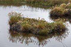 Vildblommor som växer i det mycket lilla ödammet, Newfoundland Fotografering för Bildbyråer