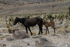 Vildhäst med fölet i den Nevada öknen royaltyfri foto