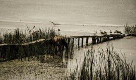 Vildhäst och fåglar som sitter i ett damm med gammalt sjunka för bro Arkivfoto