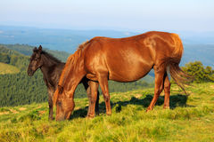 Vildhäst och föl på kullen Arkivbild