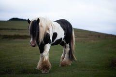 Vildhäst på ett welsh berg Royaltyfri Bild
