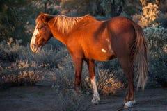Vildhäst på solnedgången arkivfoton