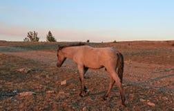 Vildhäst på solnedgången - blåa Roan Colt på Tillett Ridge i de Pryor bergen av Montana USA Royaltyfria Foton