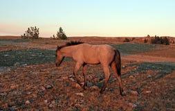 Vildhäst på solnedgången - blåa Roan Colt på Tillett Ridge i de Pryor bergen av Montana USA Royaltyfri Foto
