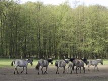 Vildhästar Arkivfoto