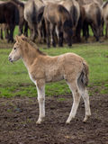 Vildhästar Royaltyfria Foton