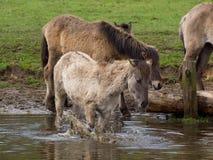 Vildhästar Arkivbild