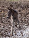 Vildhästar Royaltyfria Bilder