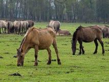 Vildhästar Fotografering för Bildbyråer