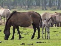 Vildhästar Royaltyfri Foto