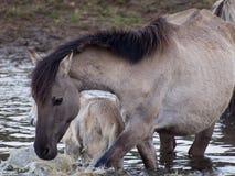 Vildhästar Arkivfoton