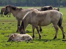 Vildhästar Royaltyfri Bild