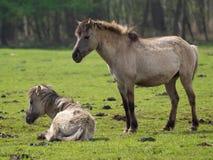 Vildhästar Royaltyfri Fotografi
