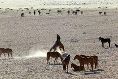 Vildhästar av Namib spela Royaltyfri Bild