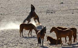 Vildhästar av Namiben Arkivbild