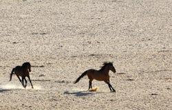 Vildhästar av Namiben Arkivfoton