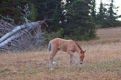Vildhästar - behandla som ett barn fölhingstfölet på Sykes Ridge i området för den Pryor bergvildhästen på gränsen av Montana och Royaltyfri Foto