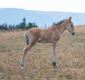 Vildhästar - behandla som ett barn fölhingstfölet på Sykes Ridge i området för den Pryor bergvildhästen på gränsen av Montana och Royaltyfria Foton