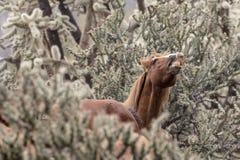 Vildhästar fäller ned Salt River royaltyfria foton