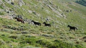 Vildhästar - Gennargentu nationalpark Royaltyfri Fotografi