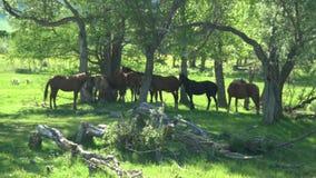 Vildhästar har att vila i en skugga av träd green betar Häst-avel ställe lager videofilmer