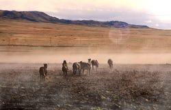 Vildhästar i öst av kalkon royaltyfri bild