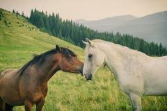 Vildhästar i Carpathian berg royaltyfri bild