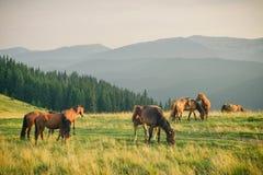 Vildhästar i Carpathian berg arkivfoto