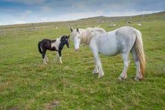 Vildhästar i Cornwall royaltyfri foto