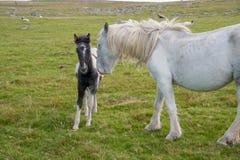 Vildhästar i Cornwall fotografering för bildbyråer
